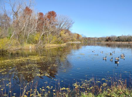 Canada Geese on a Pond in the Fall Stock Photo - 6911830