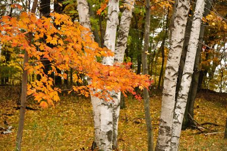 Color Maple Leaves and Birch Trees in the Fall photo