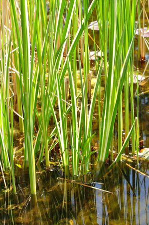 variegated: Variegated Reeds in a Pond Stock Photo