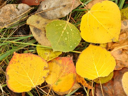 aspen leaf: Close-up of Wet Colorful Aspen Leaves in Autumn Stock Photo
