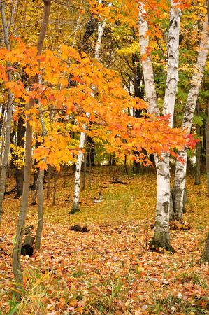 birch trees: Color Maple Leaves and Birch Trees in the Fall Stock Photo