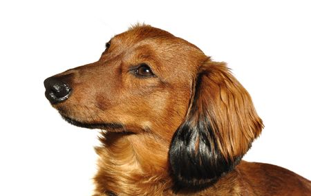 Portrait of Red Long-Haired Dachshund Isolated on White