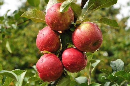 Manzanas rojas maduras cubiertas de gotas de lluvia