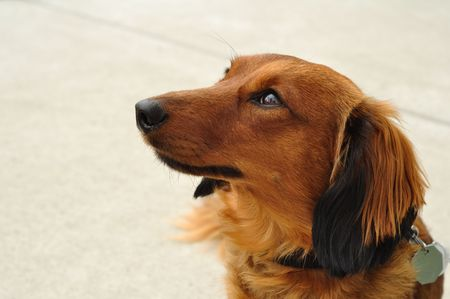 Portrait of Red Long-Haired Dachshund