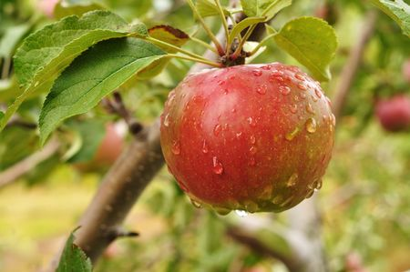 A Ripe Red Apple Covered with Raindrops