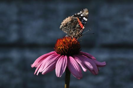 admiral: Red Admiral Butterfly (Vanessa atalanta) on a Purple Coneflower (Echinacea)