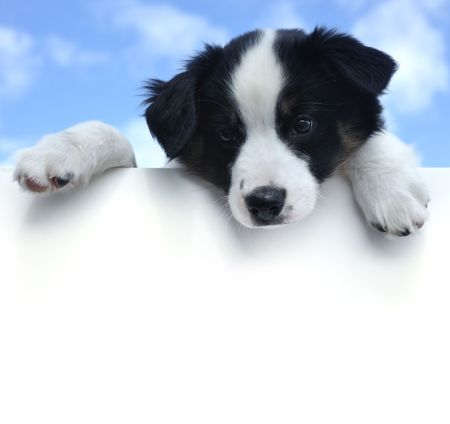 ad sign: Tricolor Australian Shepherd (Aussie) Puppy Above a Blank Sign