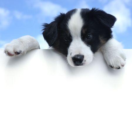 Tricolor Australian Shepherd (Aussie) Puppy Above a Blank Sign