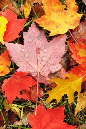Close-up of Wet Colorful Maple Leaves in the Fall photo