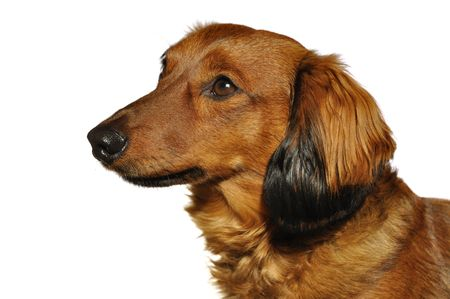 Profile Portrait of Red Long-Haired Dachshund Isolated on White Stock Photo