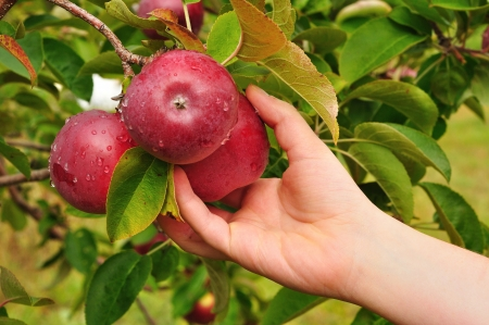apple orchard: Picking a Ripe Red Apples Covered with Raindrops