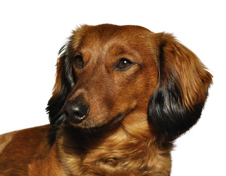 Portrait of Red Long-Haired Dachshund Isolated on White photo
