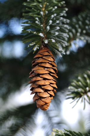 Frost Covered Spruce Tree Branch with Pine Cone photo