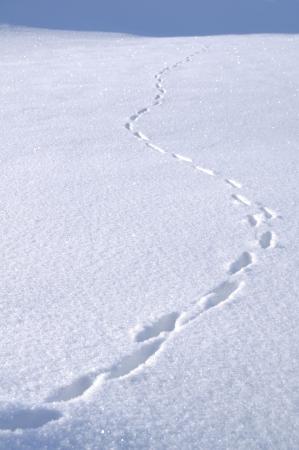 animal tracks: Animale tracce nella neve coperto campo