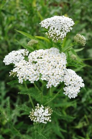 Blanc achillée millefeuille (Achillea millefolium) un fleurs sauvages indigènes Banque d'images - 8787653