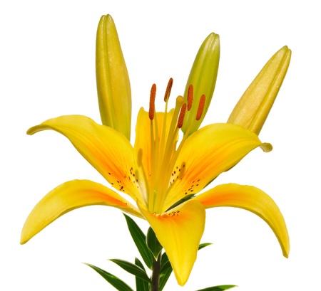 Fiore giallo di Lily (Lilium) isolata on White Archivio Fotografico - 8784120