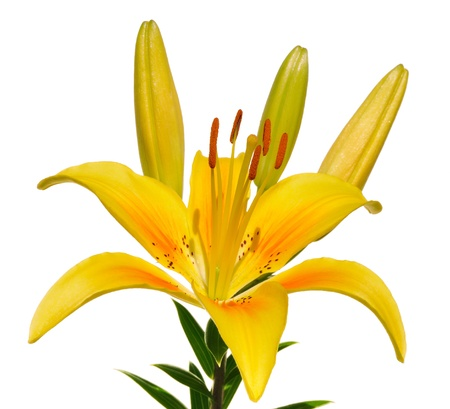 yellow stamens: Yellow Lily (Lilium) Flower Isolated on White