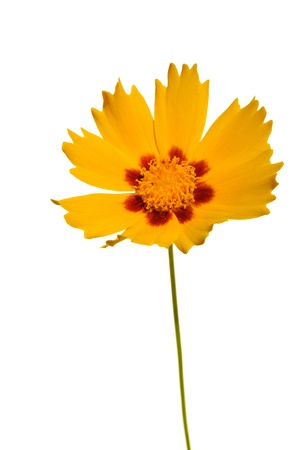 tickseed: Coreopsis grandiflora Domino or Tickseed Isolated on White