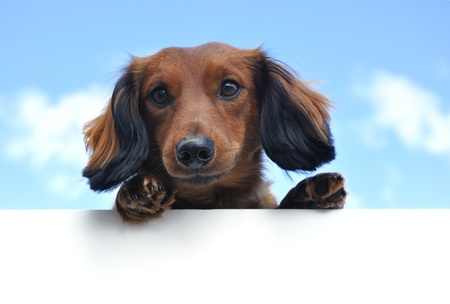 dachshund: Red Miniature Long-Haired Dachshund Above a Blank Sign