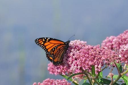 milkweed butterfly: Monarch Butterfly (Danaus plexippus) on Swamp Milkweed Wildflower (Asclepias  incarnata)