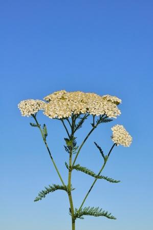 yarrow: White Yarrow  (Achillea millefolium) a Native Wildflower Against a Blue Sky