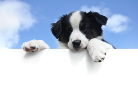 shepherd dog: Tricolor Australian Shepherd (Aussie) Puppy Above a Blank Sign