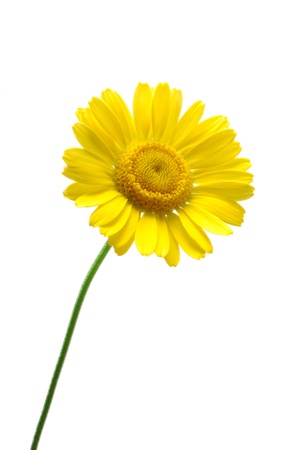 chamomile flower: Golden marguerite or yellow cotula or yellow chamomile (Anthemis tinctoria) isolated on white