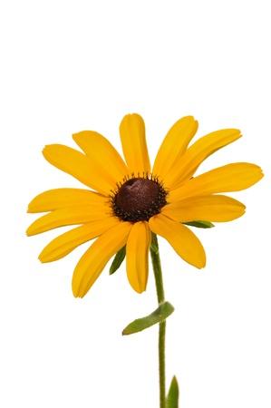 susan: Black-Eyed Susan (Rudbeckia Hirta) a Native Wildflower