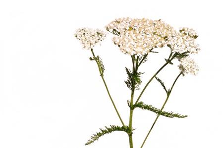 White Yarrow  (Achillea millefolium) a Native Wildflower Isolated on White