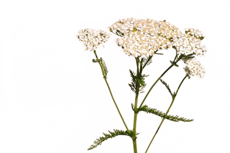 White Yarrow  (Achillea millefolium) a Native Wildflower Isolated on White