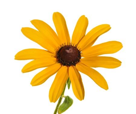 Black-Eyed Susan (Rudbeckia Hirta) a Native Wildflower photo