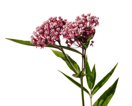 Swamp Milkweed Wildflower (Asclepias  incarnata) Isolated on White Stock Photo
