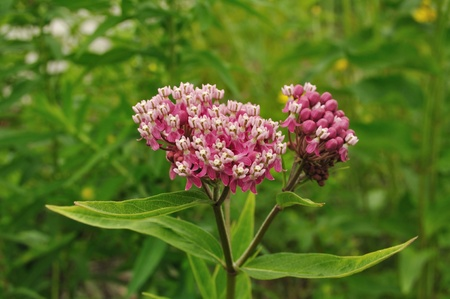 Swamp Milkweed Wildflower (Asclepias  incarnata), Close-up