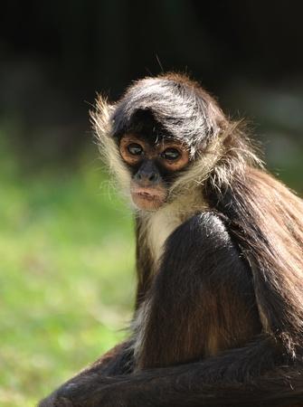 Geoffroys Spider Monkey (Ateles geoffroyi), also known as Black-handed Spider Monkey Stock Photo