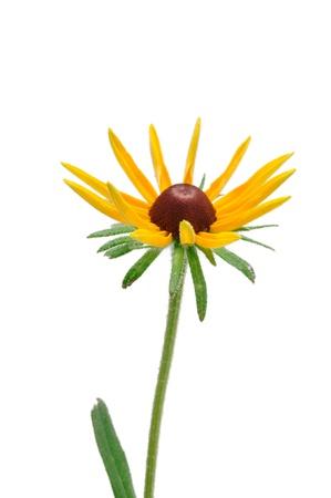 Budding Black-Eyed Susan (Rudbeckia Hirta) a Native Wildflower photo