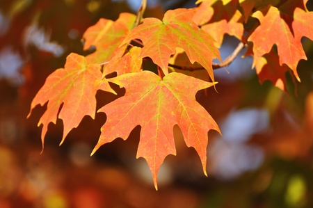 red maples: Colorful Maple Leaves on a Sunny Fall Day Stock Photo