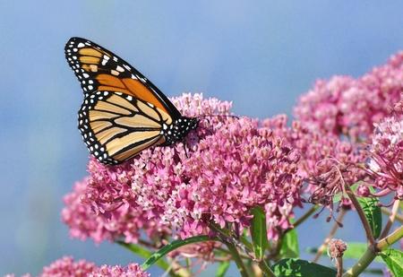 沼トウワタ ワイルドフラワー (トウワタ属 incarnata) のモナーク蝶 (ダナオス plexippus)