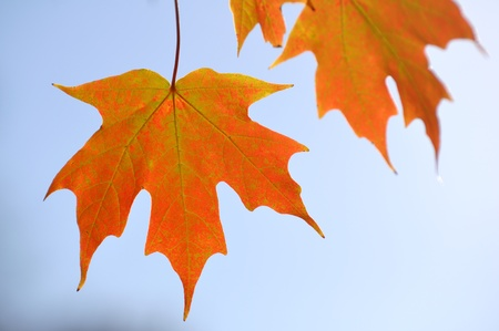 Backlit Colorful Maple Leaves in the Fall Against the Sky