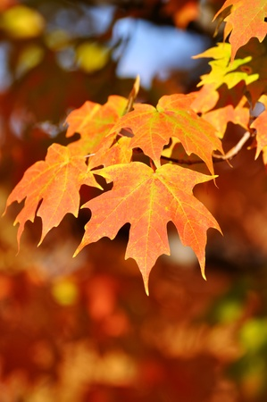 Colorful Maple Leaves on a Sunny Autumn Day