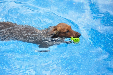 Red Long-Haired Dachshund Swimming in a Pool with a Toy