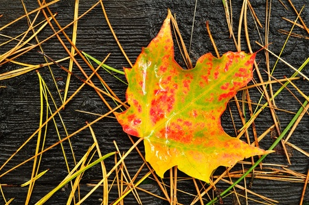 needles pine: Un singolo Multicolor Maple Leaf con aghi di pino in autunno