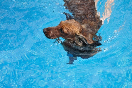 Red Long-Haired Dachshund Swimming in a Pool