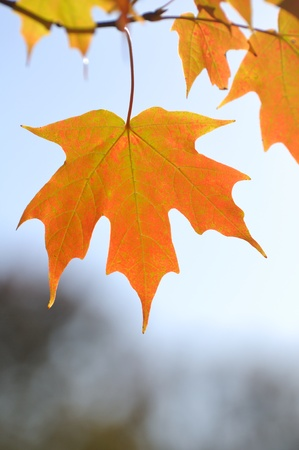 Backlit Colorful Maple Leaves in the Fall Against the Sky photo