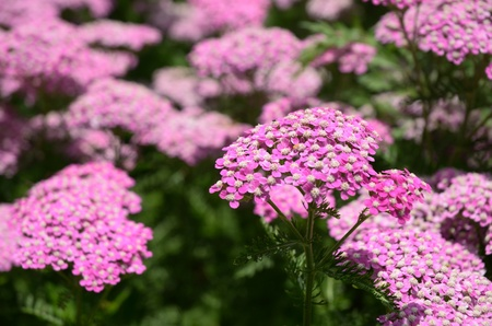 Pink Yarrow  (Achillea millefolium) Flower in Bloom