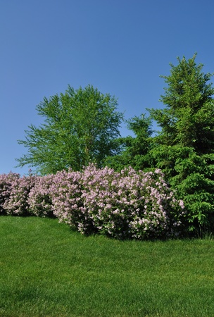 Backyard Landscaping with Pink Lilacs and Trees photo