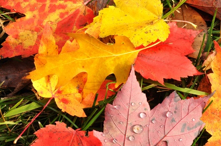 nov: Close-up of Wet Colorful Maple Leaves in the Fall