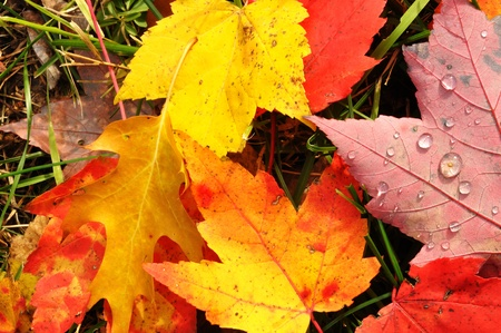 Close-up of Wet Colorful Maple Leaves in the Fall