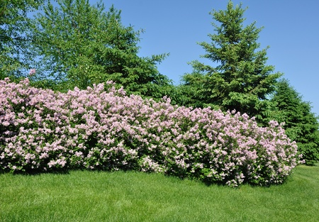shrubs: Backyard Landscaping with Pink Lilacs and Trees