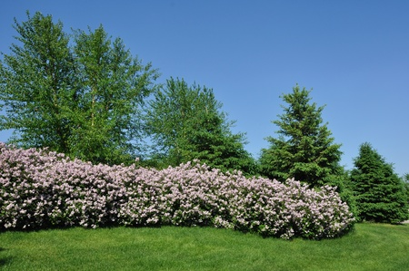 Backyard Landscaping with Pink Lilacs and Trees Stock Photo - 10369967