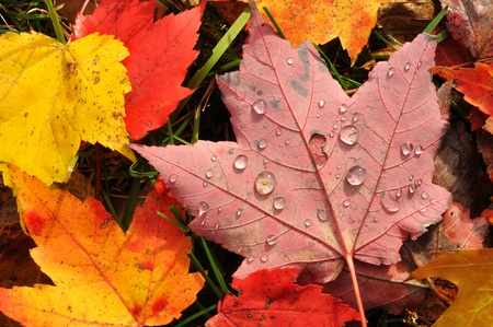 acer: Close-up of Wet Colorful Maple Leaves in the Fall